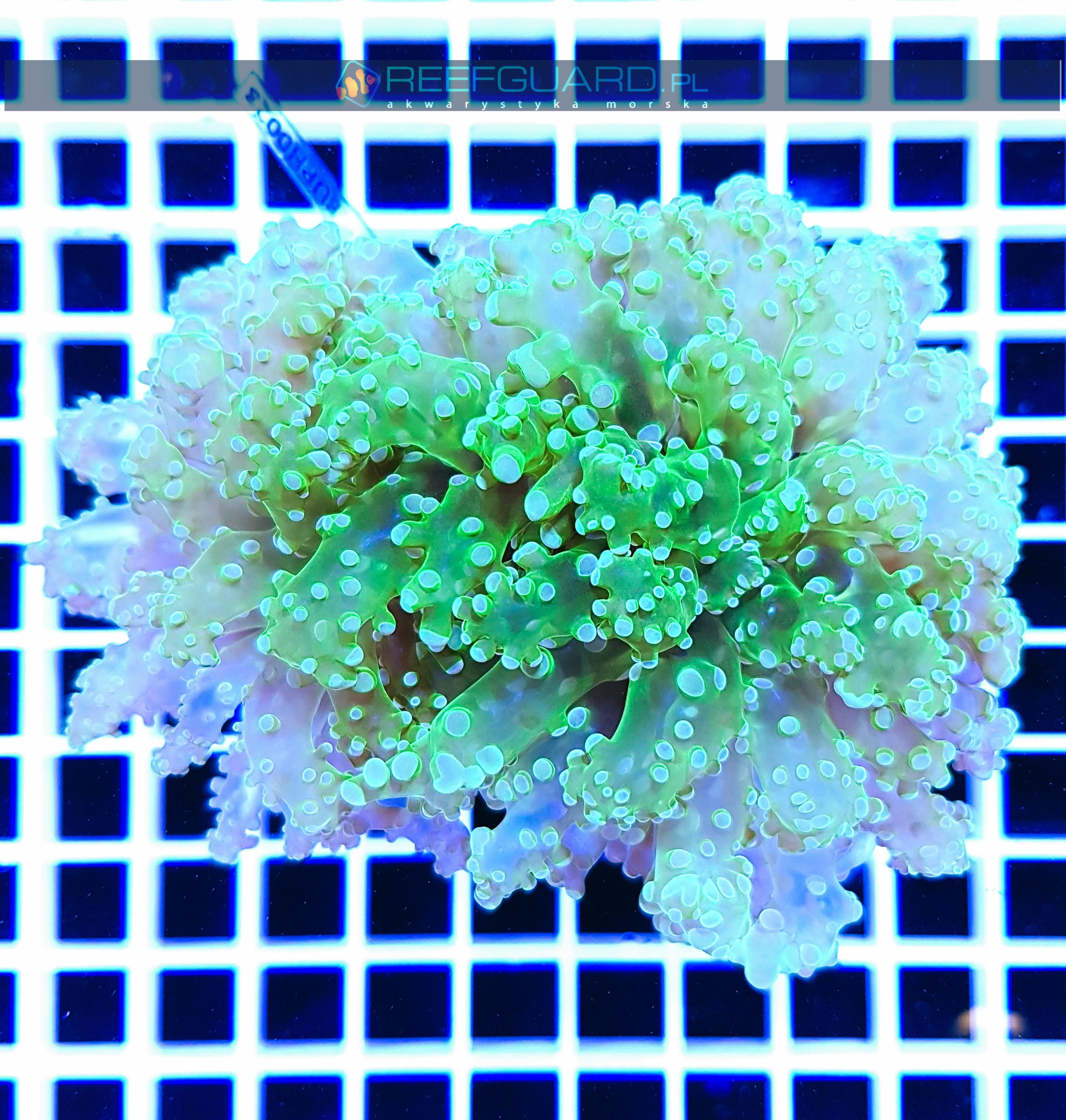 Euphyllia yaeyamaensis toxic green EUPH0023 szczecin reefguard
