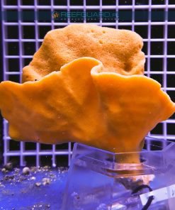 Gąbka morska ORANGE Cinachyra Alcladia sponge WYSIWYG GABK0001 szczecin reefguard