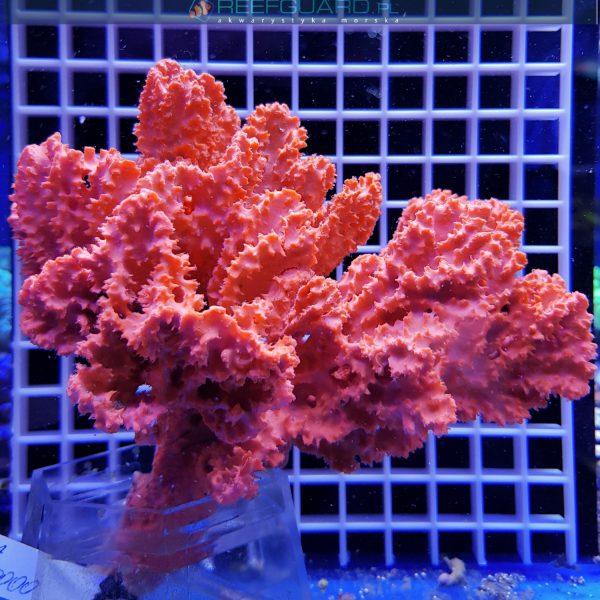 Gąbka morska RED Stylotella Aurantium WYSIWYG GABK0000