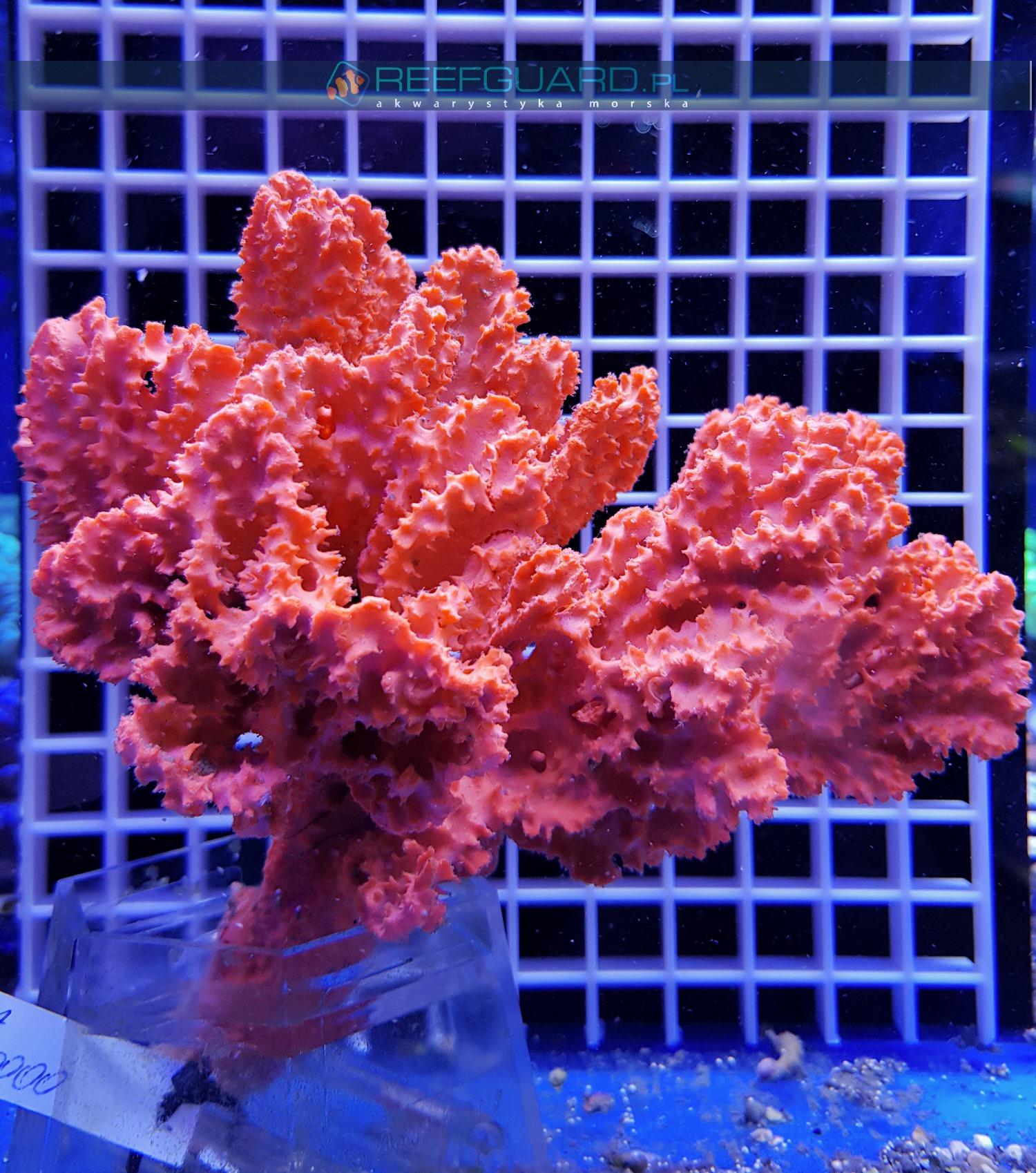 Gąbka morska RED Stylotella Aurantium WYSIWYG GABK0000 sponge szczecin reefguard