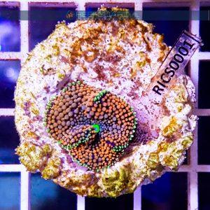 Ricordea florida Orange Green WYSIWYG RICS0001 szczecin reefguard.pl akwarystyka morska