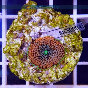Ricordea florida Orange Green WYSIWYG RICS0004 szczecin reefguard