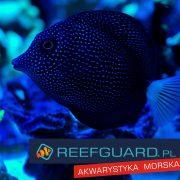 Zebrasoma gemmatum RARE Spotted Tang, Spotted Sailfin Tang Rzadkość