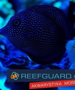 Zebrasoma gemmatum pokolec reefguard szczecin rzadka rzadkie ryby najpiękniejsza ryba