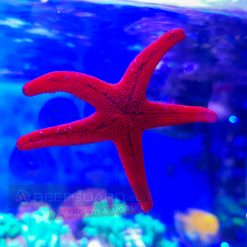 Fromia sp. Starfish Red rozgwiazda czerwona