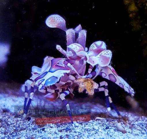 Hymenocera Elegans Harlequin Shrimp na asteriny