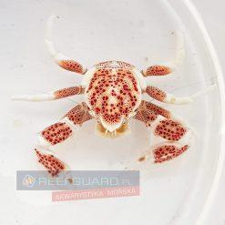 Krab porcelanowy symbiotyczny Neopetrolisthes maculatus