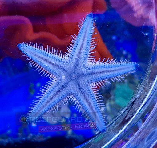Rozgwiazda piaskowa Astropecten polyacanthus BLUE
