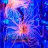 Cerianthus Membranaceus Szorstnik Ultra ORANGE