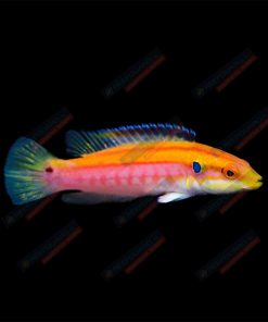 Bodianus Bimaculatus S/M Yellow Candy Hogfish