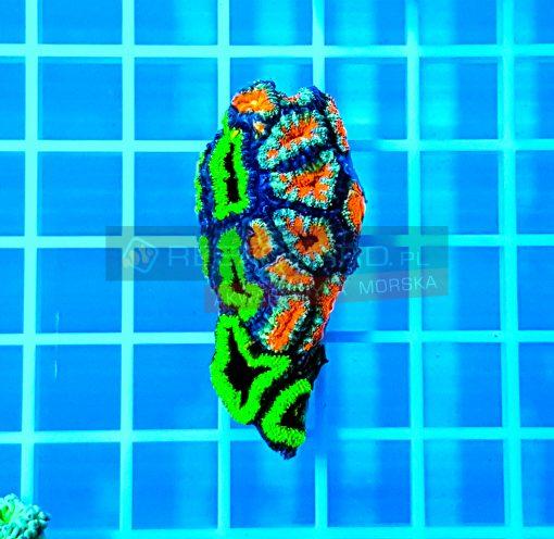 Acanthastrea Bicolor aca0018 WYSIWYG