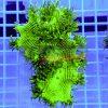 Catalaphyllia Jardinei WYSIWYG cat00054 green blue australia tip