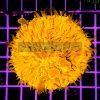 Cycloseris WYSIWYG CYC000124 Orange Ultra