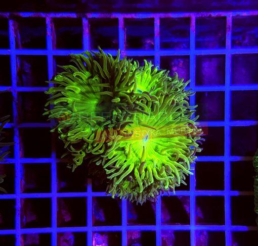 Duncanopsammia axifuga WYSIWYGdun0012