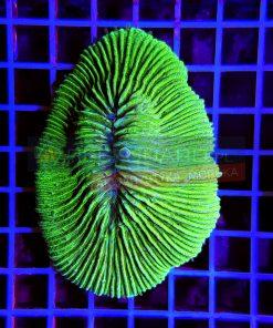 Fungia Green Fun0010 WYSIWYG