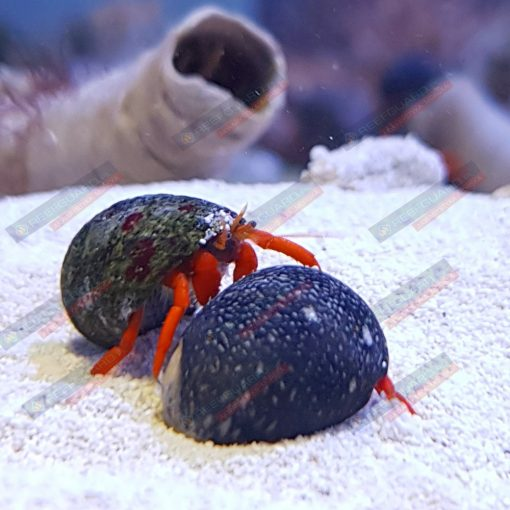 Krab Pustelnik Calcinus sp. red