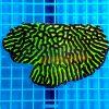 Platygyra Green Neon pla0011 xxl WYSIWYG