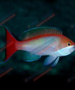 Pseudanthias cooperi Red-bar