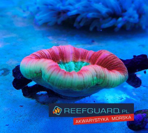 Trachyphyllia Candy TRA00020 WYSIWYG