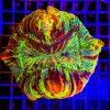 Trachyphyllia Geoffroyi WYSIWYGTRA00014 Rainbow