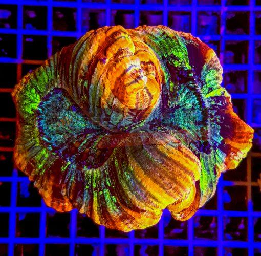Trachyphyllia Geoffroyi WYSIWYGTRA00015 Rainbow