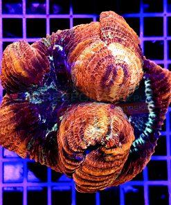 Trachyphyllia Geoffroyi WYSIWYG TRA00012 Red War