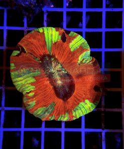 Trachyphyllia Geoffroyi WYSIWYGTRA00017