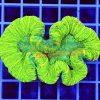 Trachyphyllia Ultra Neon tra00012 WYSIWYG
