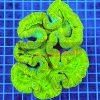 Trachyphyllia Ultra Neon tra00010 XXL WYSIWYG