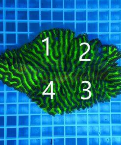 Platygyra green