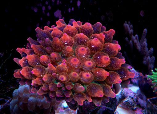 Entacmaea quadricolor rainbow S