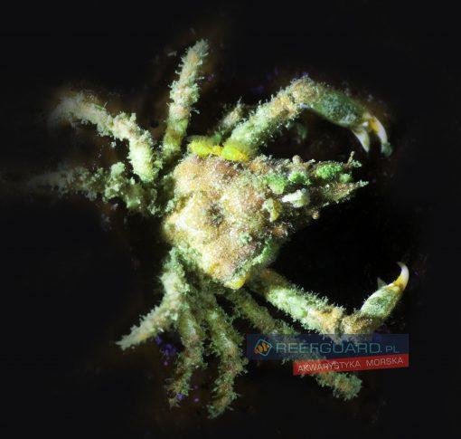 Macrocoeloma Trispinosum Krab Dekorator Filipiny