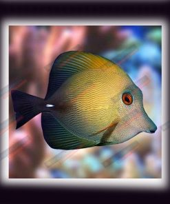 Zebrasoma Scopas M Brown Sailfin Tang