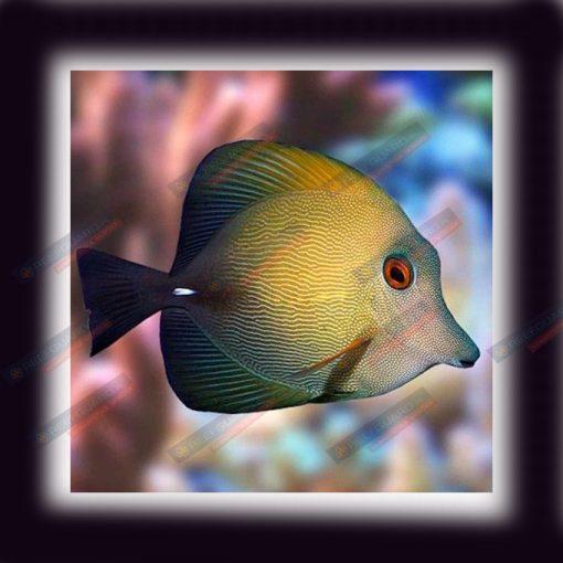Zebrasoma Scopas M Brown Sailfin Tang