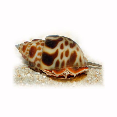 Babylonia sp Snail Slimak