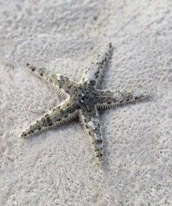 Rozgwiazda Piaskowa Archaster Typicus Sand Sifting Sea Star