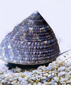 Tectus Fenestratus Snail Slimak