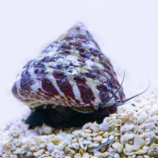 Trochus sp Snail Slimak