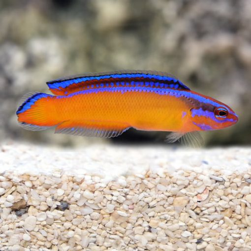 Pseudochromis Aldabraensis HODOWLANA Tank Bred