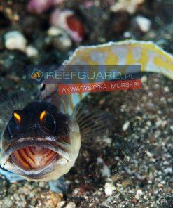 Opistognathus Randalli Jawfish Black Cap