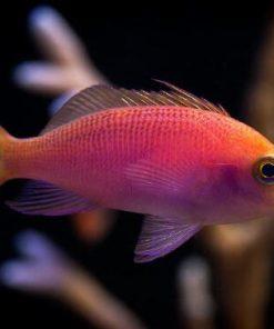 Pseudanthias Pulcherrimus