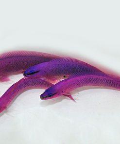 Pseudochromis Fridmani HODOWLANA