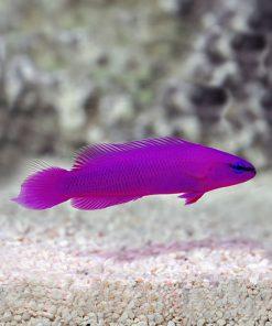 Pseudochromis Fridmani HODOWLANA Tank Bred
