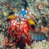 Mantis Shrimp Odontodactylus Scyllarus Krewetka Modliszkowa