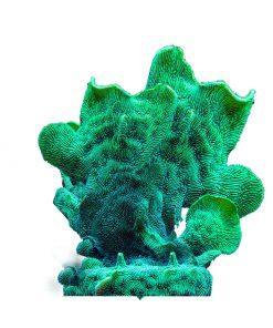 Pavona cactus M Green Fluo
