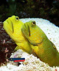 Cryptocentrus Cinctus dobrana para Yellow Watchman Goby