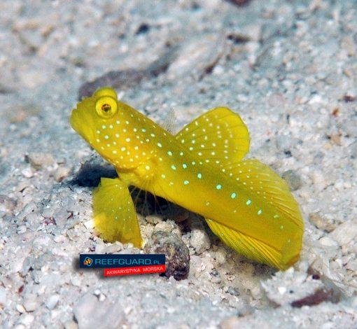 Cryptocentrus Cinctus Yellow Watchman Goby