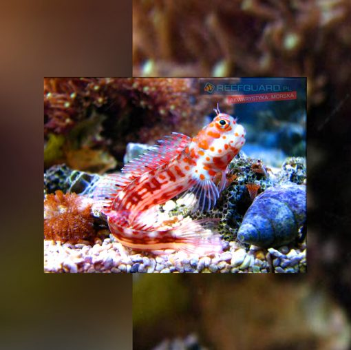 Istiblenius Chrysospilos Red-Spotted Blenny