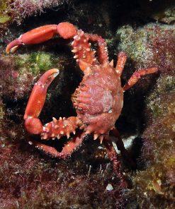 Mithrax Forceps RED krab na glony