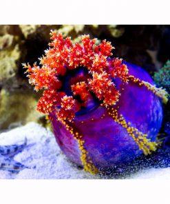 Strzykwa Pseudocolochirus Violaceus Sea Apple